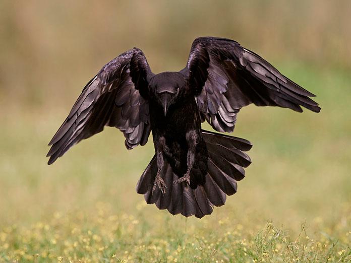 Интересный мир природы: ворон и ворона