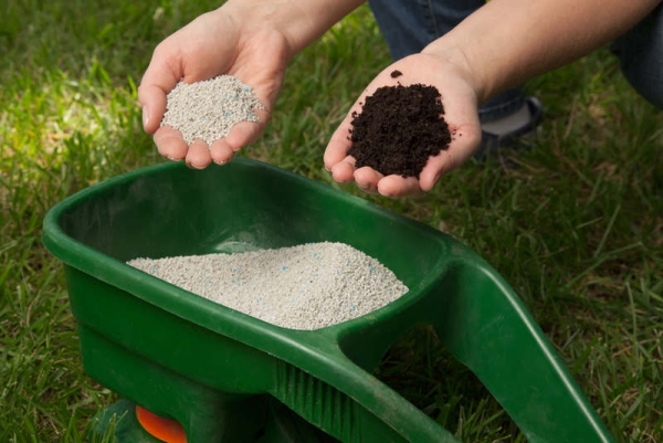 Выращивание ежевики в домашних условиях