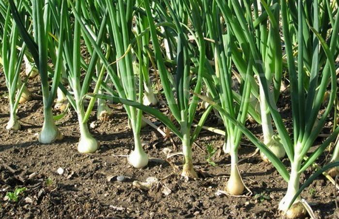 Особенности выращивания лука репчатого