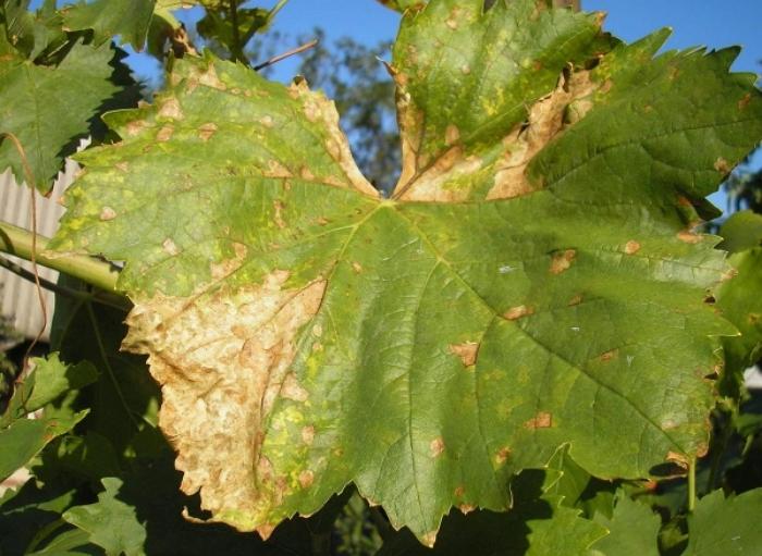 Виноградный лист пораженный милдью