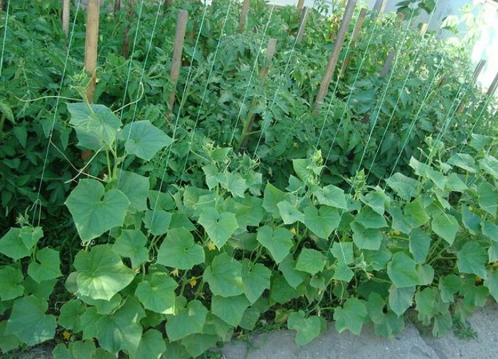 Выращивание огурцов на огороде