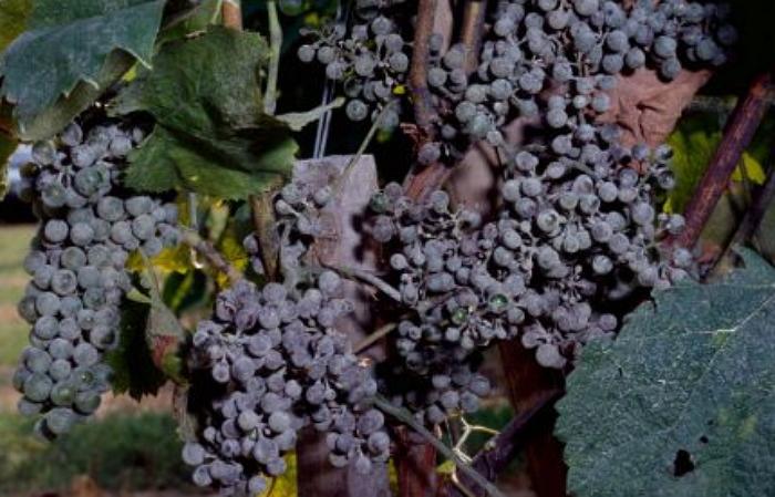Виноград пораженный оидиумом