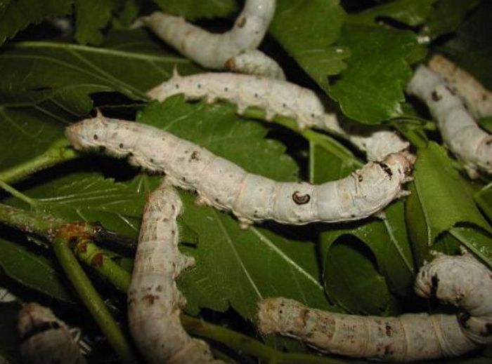 Шелкопряд - черви на шелковице