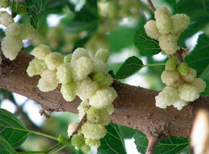 Выращивание шелковицы – и полезно, и вкусно