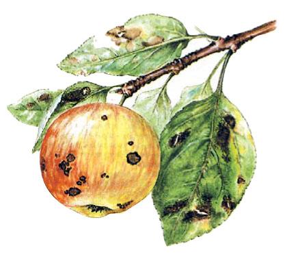 Парша яблони — как уберечься от болезни?