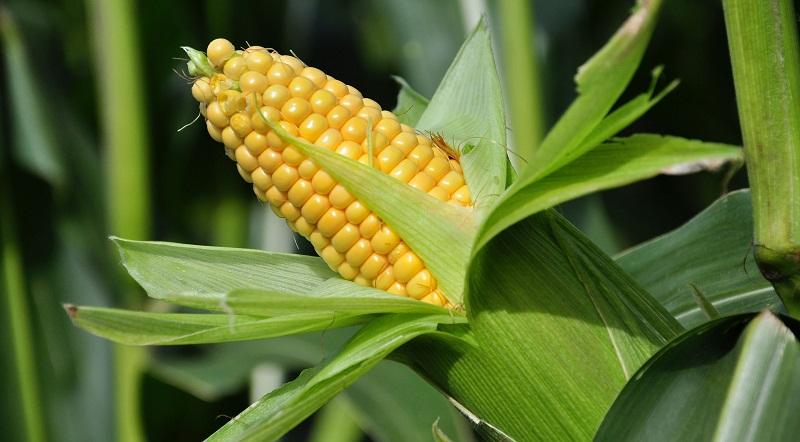 Когда и как сажать кукурузу в открытый грунт семенами