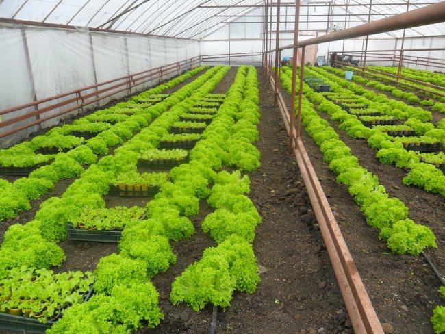 Выращивание овощей в неотапливаемой теплице: преимущества метода