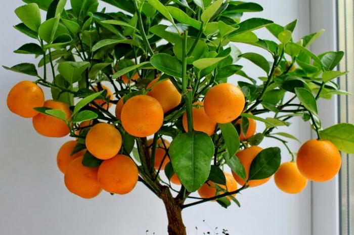 Выращивание цитрусовых растений