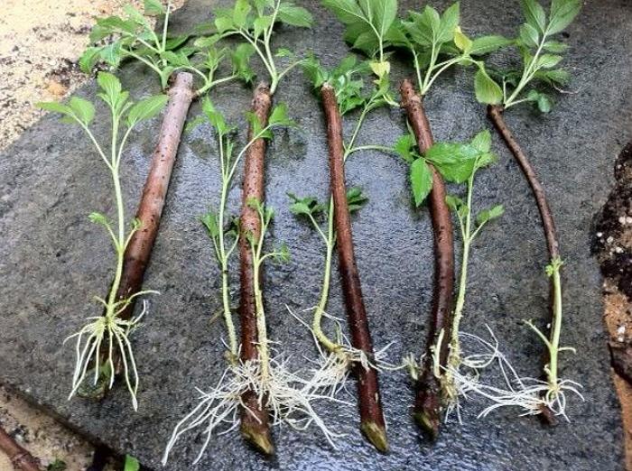 Ежевика станет вкусным украшением любого сада