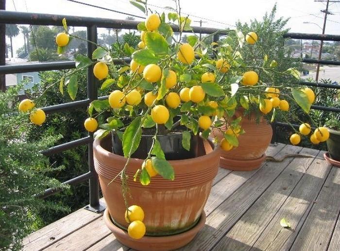 Выращивание лимонов в горшке