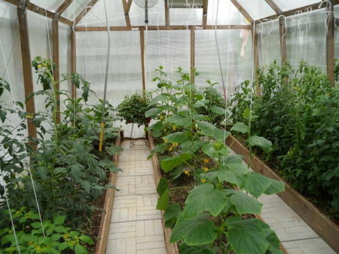 Выращивание огурцов в неотапливаемой теплице