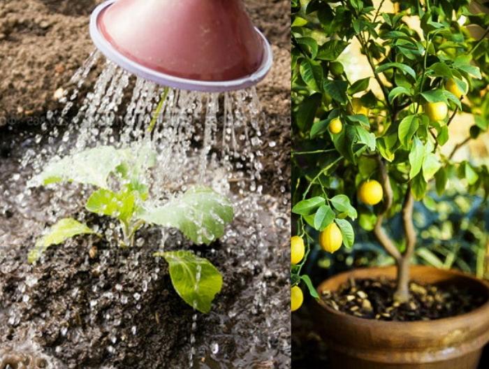 Посадка и пересадка цитрусовых растений: основные моменты