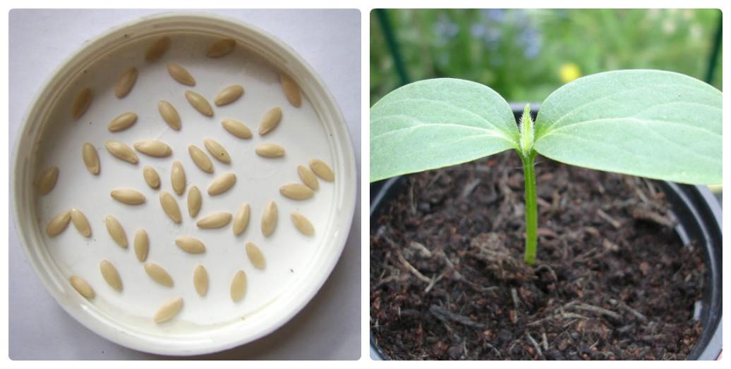 Как выращивать огурцы, чтобы получать хороший урожай каждый год