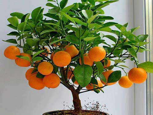 Цитрусовые растения: основные моменты