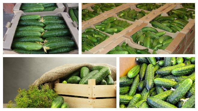 Как выращивать огурцы, чтобы получать хороший урожай