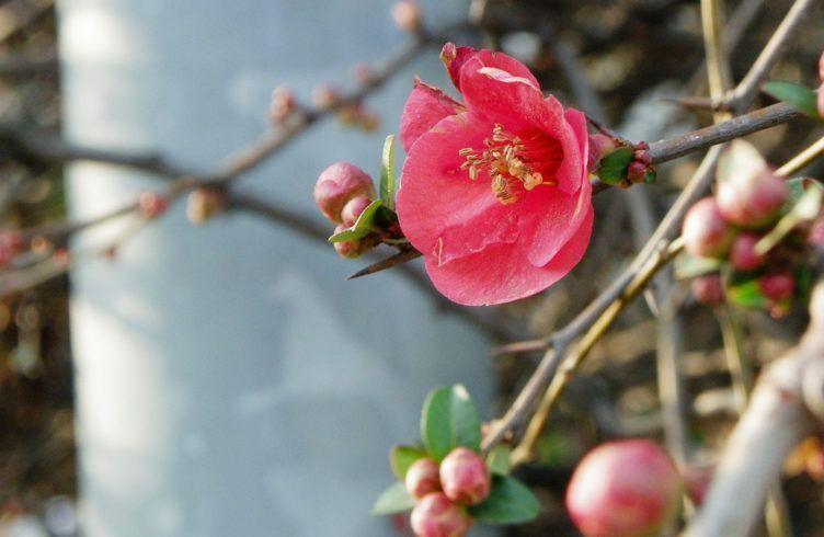 """Айва японская, или Хеномелес: выращиваем """"Северный лимон"""""""