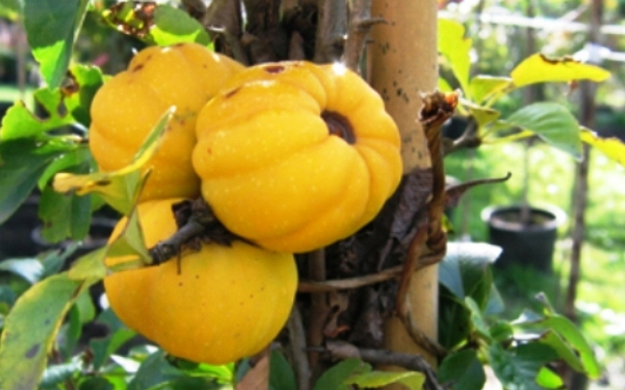 Плоды хеномелеса Нивалис
