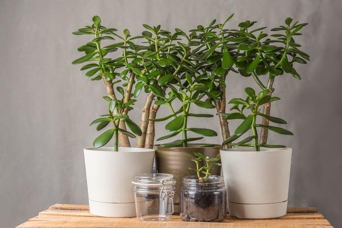 Денежное дерево - секреты фэншуя