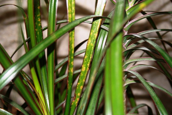 Драцена - вечнозеленое, стройное деревце