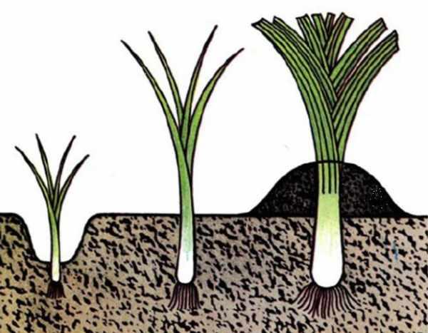 Лук-порей: выращивание от посева до уборки