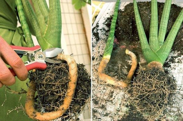 Уход за сансевиерией: условия для цветка, очищающего воздух