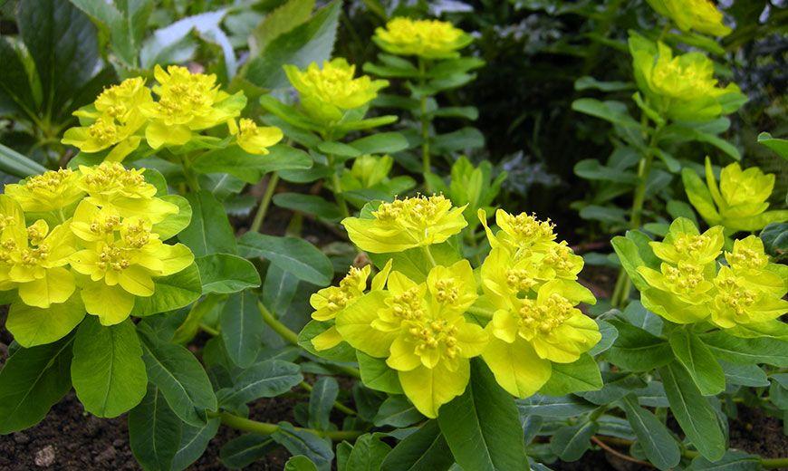 Цветущий молочай комнатное растение