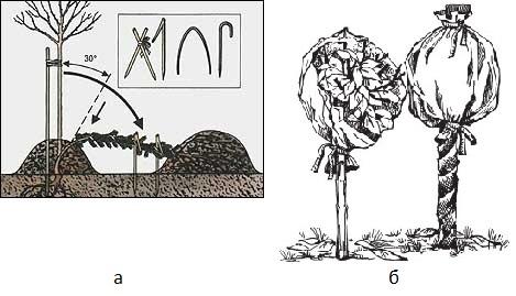 Как укрыть розы на зиму — все про спасение «королевы цветов»