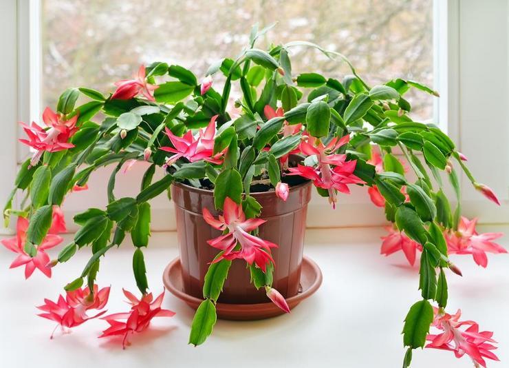 """Зимний цветок """"декабрист"""": как ухаживать в домашних условиях?"""