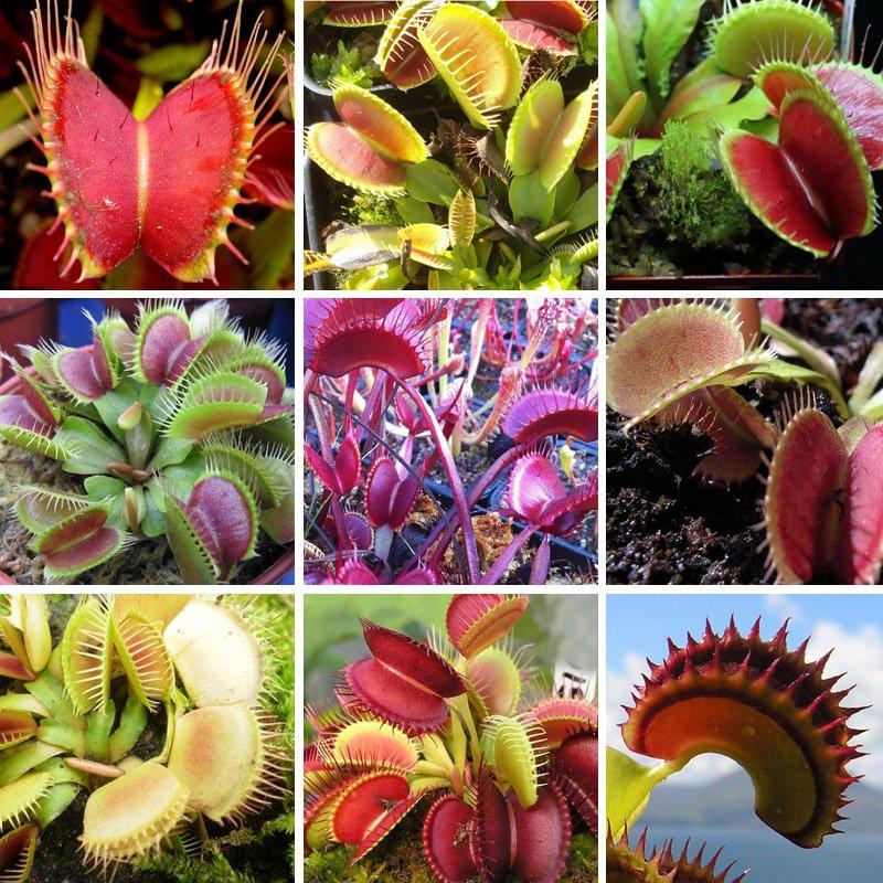 Очаровательное хищное растение – венерина мухоловка