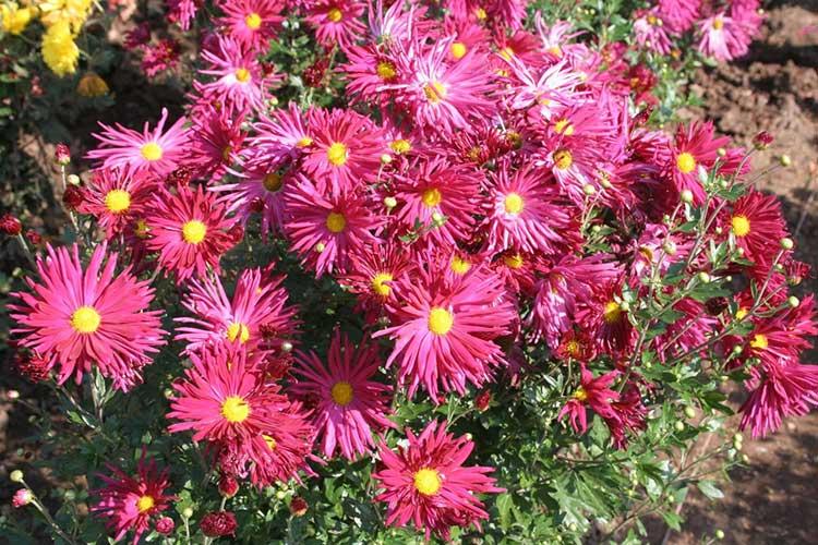 Хризантемы: выращивание в саду и уход