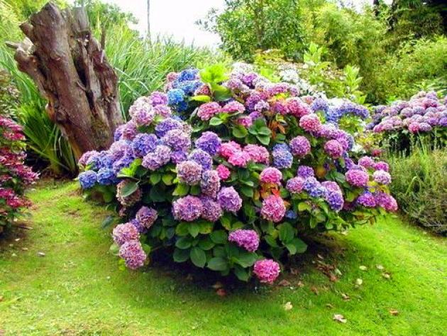 Гортензия: посадка и уход, выращивание в саду
