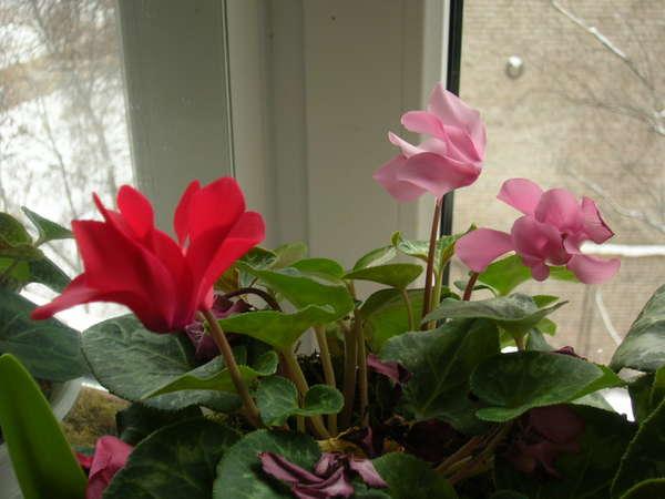 Цикламен — цветок солнца: уход в домашних условиях