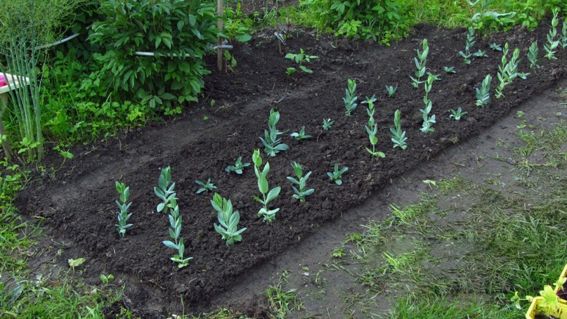 Выращивание нежной красавицы Эустомы в открытом грунте