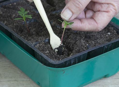 Детально о выращивании и уходе за бархатцами