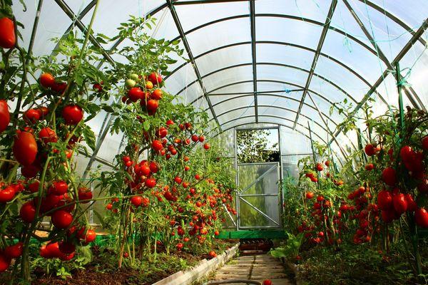 Мульчирование томатов: шаг к высокому урожаю