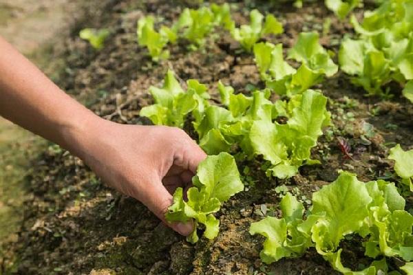 Салат: как и когда сажать и выращивать