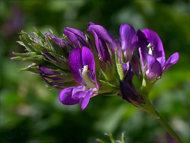 Люцерна - полезный корм и целебный эликсир