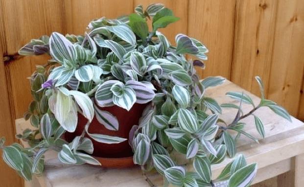 Традесканция — неприхотливое комнатное и садовое растение