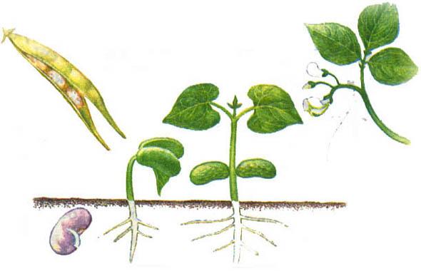 Вегетативное размножение: все о том как, зачем и когда