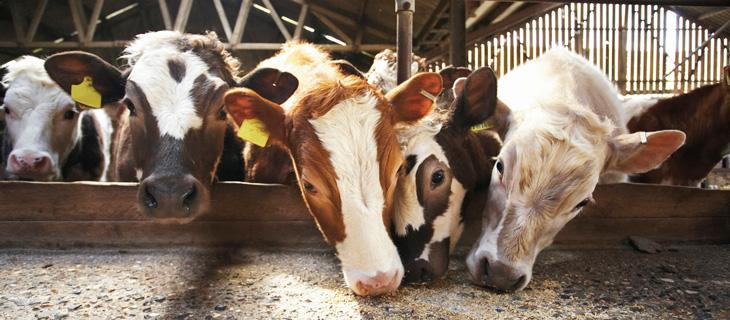 Корова на дворе - достаток на столе: чем и когда кормить