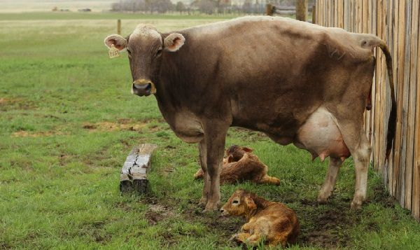 Все об удоях коровы и о том, как повысить выработку молока