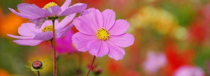 Элегантная и простая космея - как посадить и вырастить