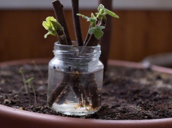 Инжир, выращивание в домашних условиях – это возможно?