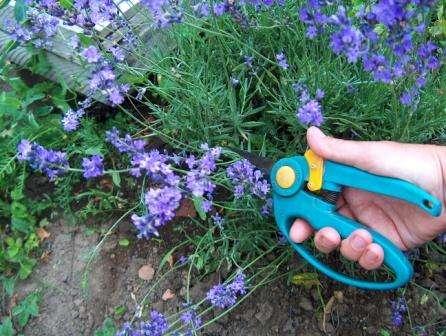 Лаванда: секреты выращивания, посадки и ухода