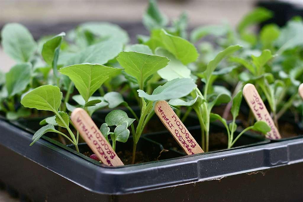Выращивание капустной рассады - советы, рекомендации и методы