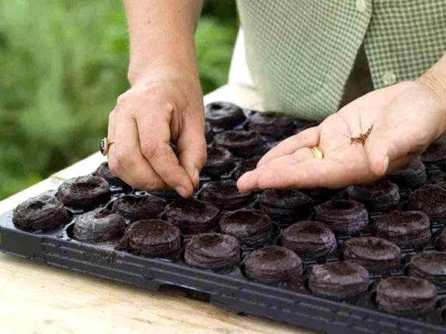 Все о том, как получить хорошую рассаду петуний