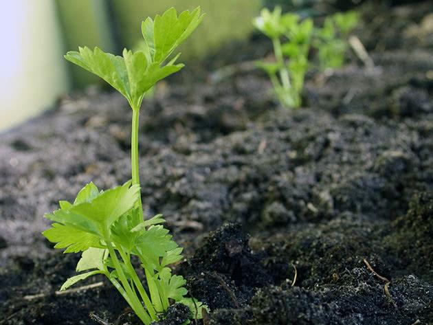 Рассада сельдерея: подготовка и посев семян разных сортов