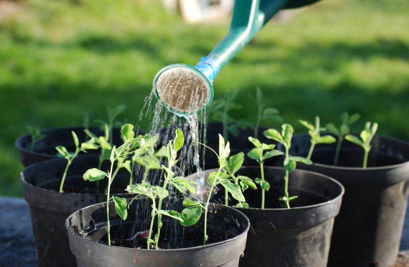 Баклажаны – посев семян и выращивание рассады