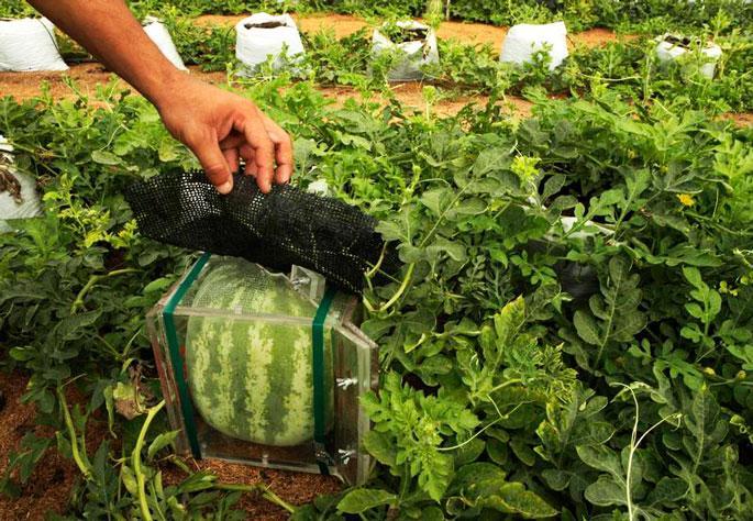 Технология выращивания арбузов