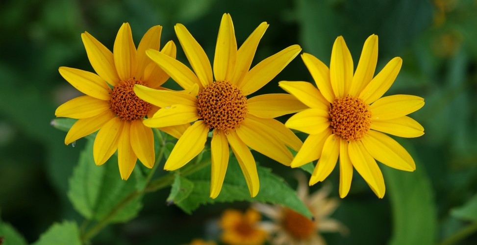 Как вырастить солнце? Посадка и уход за гелиопсисом